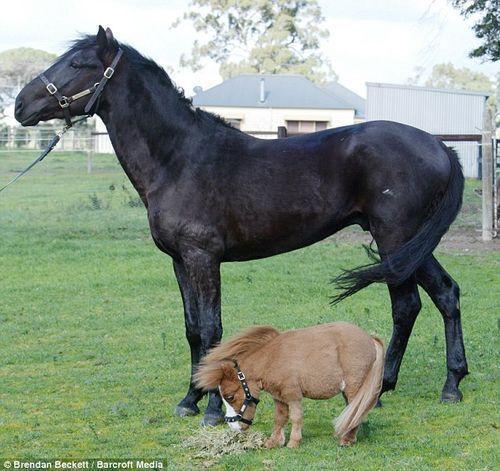 caballo_enano_03