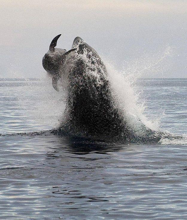 Fotos impresionantes de orca cazando delfín