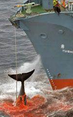 Caza de ballenas en la Antártida