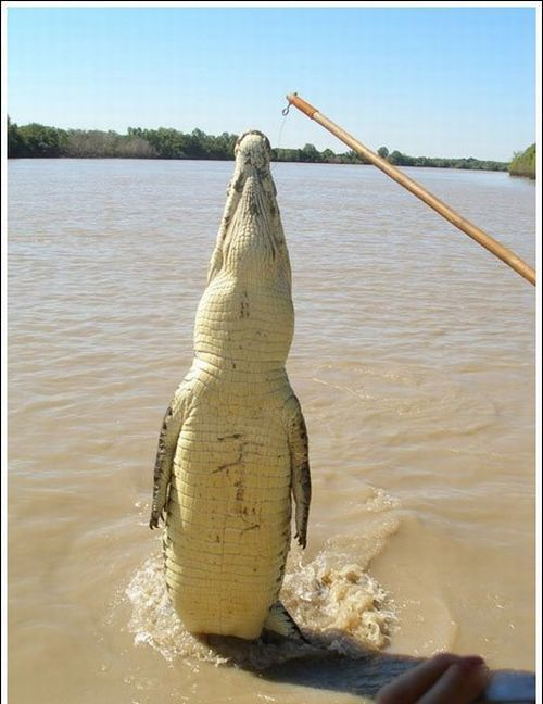 crocodiles_03