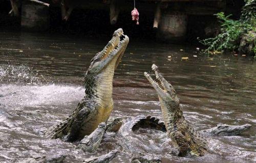 crocodiles_09