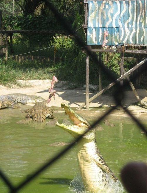 crocodiles_18