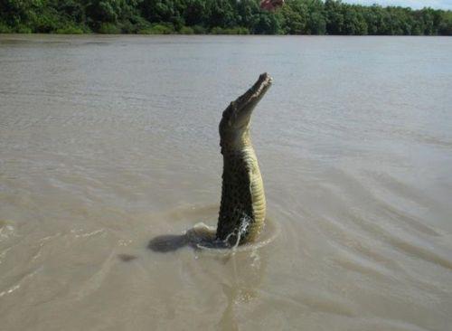 crocodiles_24