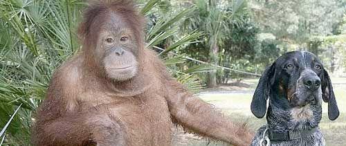 Amistad entre un perro y un Orangután