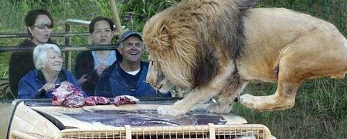 A pocos centímetros de los leones