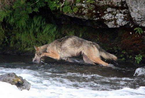 lobo-pescando-01