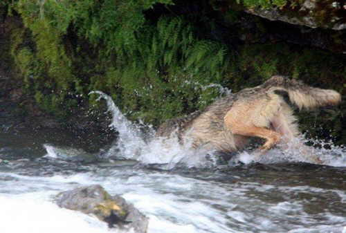 lobo-pescando-02