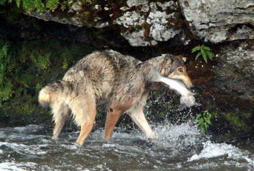 lobo-pescando-04
