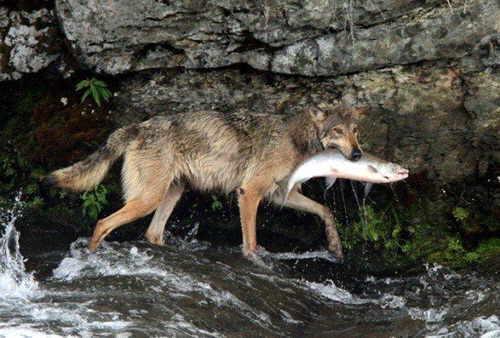 lobo-pescando-05