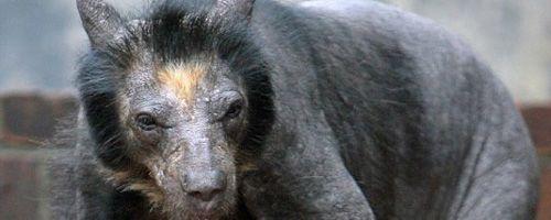 El misterio de las osas calvas del zoo de Leipzig