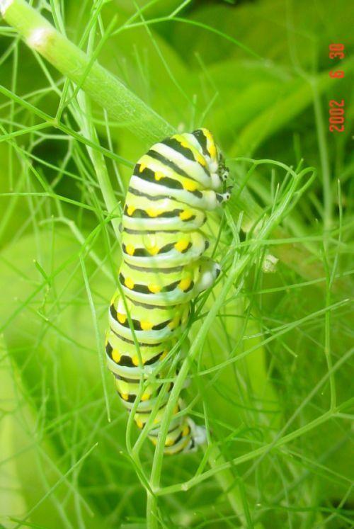 spicebush_swallowtail_caterpillar_02