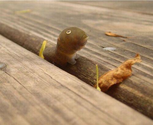 spicebush_swallowtail_caterpillar_10