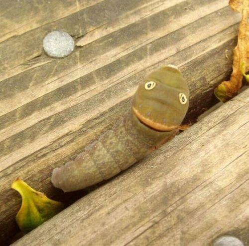 spicebush_swallowtail_caterpillar_11