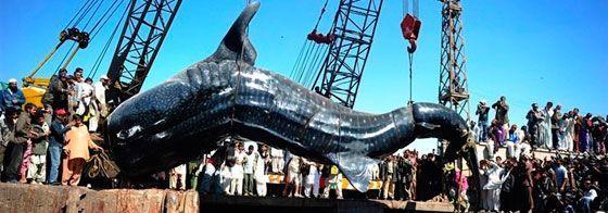 Se encuentran un tiburon ballena de 12 metros en Pakistan
