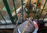 Un tigre le arranca el brazo